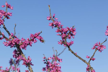 redbud: Stock photo of a bee investigating new growth and blooming flowers on a Redbud tree at the very beginning of the Spring season.