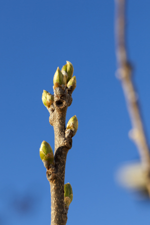 persimmon tree: Stock photo of new growth on a Fuyi Persimmon tree as leaf buds sprout at the very beginning of the Spring season.