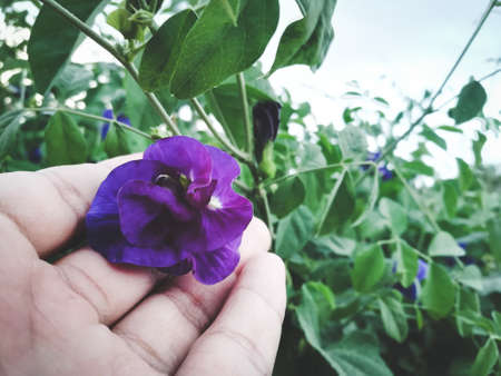 Butterfly Pea Flower placed on the hand.