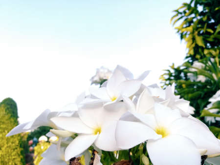 White Plumeria or  Frangipani flowers is blossoming. Stock Photo