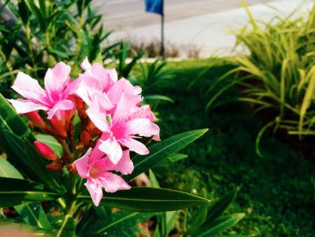 Blooming pink oleander flowers in the garden. Stock Photo