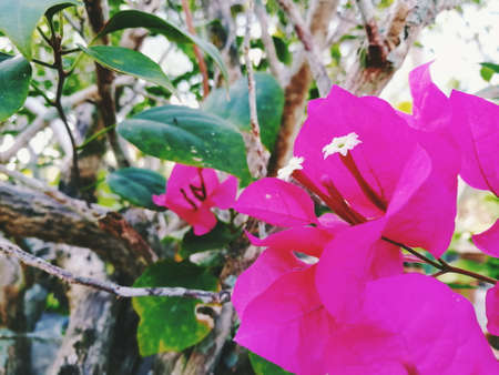 Pink bougainvillea flowers are blooming.