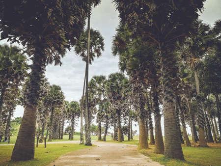 Palmyra palm at Lanta national park.
