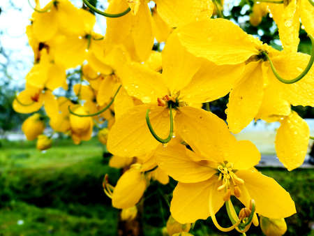 Cassia flowers with drops of water in the morning.