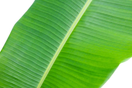 Banana leaf isolated on white background.Texture and wallpaper.