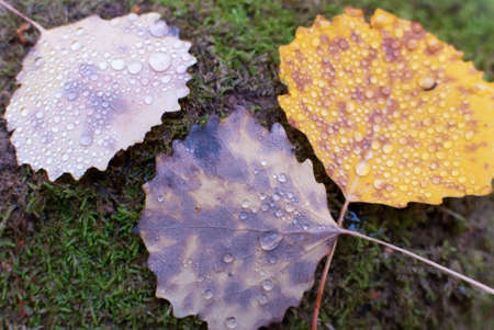 Autumn Leaf with Dew Drops photo