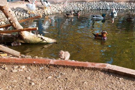 nutria: Nutria and ducks