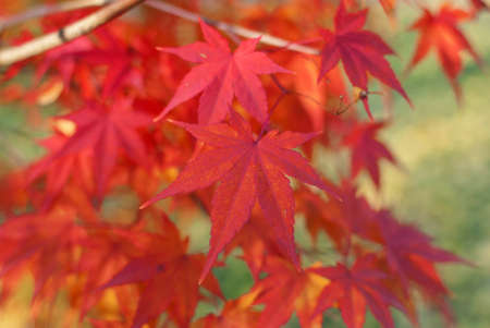 Red foliage of Acer Palmatum, commonly known as Japanese Maple Stock Photo - 17047708
