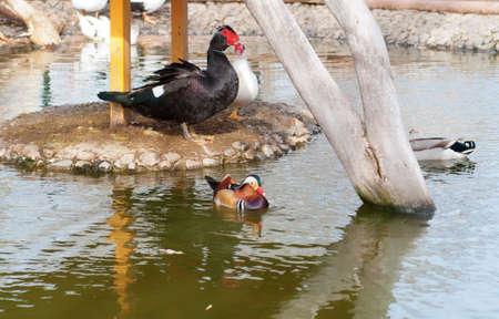Mandarin Duck Stock Photo - 18266434