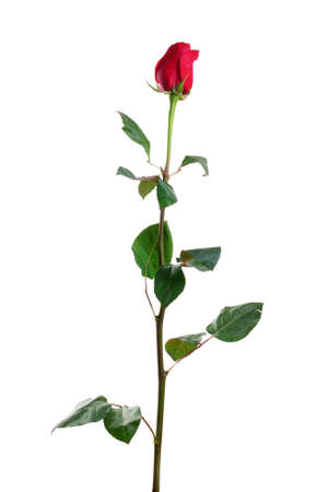 wild rose: Red rose with leaves isolated on white