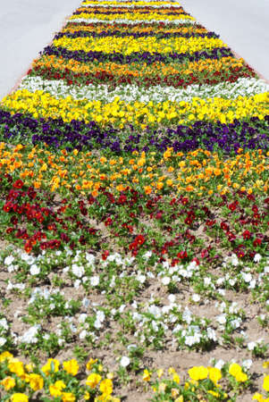 Heartsease, flower garden photo