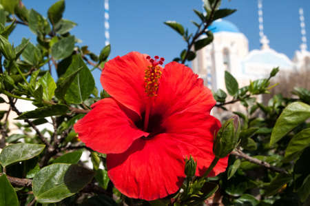 Hibiscus and blue domed church in Oia, Santorini, Greece photo