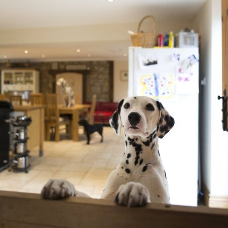 only 3 people: Dalmatian dog jumping up at a door gate. There is another dalmation sitting on the dining table in the background a small dog standing on the floor.
