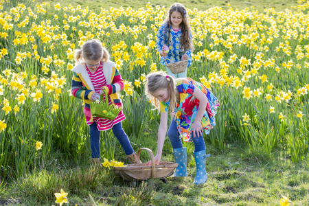osterei: Three little girls are in a daffodil field looking for easter eggs during an easter egg hunt. They have a wicker basket to put the eggs they find in. Lizenzfreie Bilder