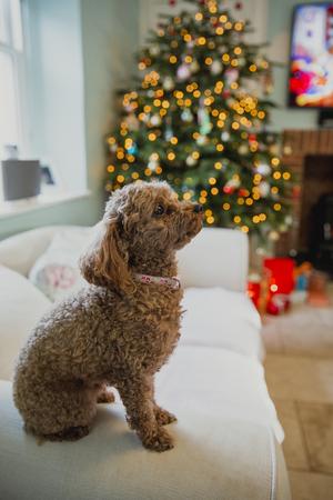 クリスマスの時の家のリビング ルームのソファに座っているラップ犬。 写真素材
