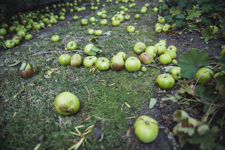 A close-up shot of green apples lying on the grass of a lawn, they have fallen from a tree as autumn begins.