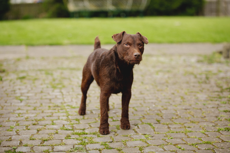 Pet patterdale terrier dog standning outdoors. It is staring with curiosity and standing at alertness. Banco de Imagens - 115503543