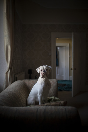 A front-view shot of a white boxer dog sitting on a sofa in a domestic living room, the dog can be seen sitting up confidently looking at the camera. Foto de archivo