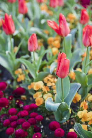 Close up shot of tulips in a flowerbed.
