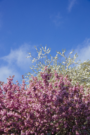 White and pink blossom trees on a blue sky background. Stock fotó