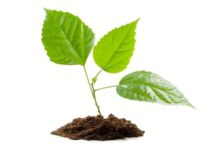 origins: Transplant of a tree isolated on a white background. Clipping path included. Stock Photo