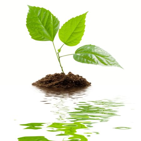 transplant: Transplant of a tree isolated on a white background.