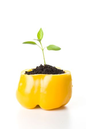 Transplant of a tree in a pot from fresh pepper on a white background. Concept for environment conservation.