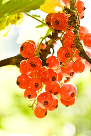 Fresh red currant on a branch in a garden photo