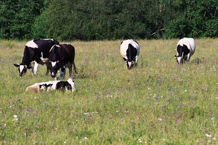 Black and white spotty cow on a meadow Stock Photo - 3582607