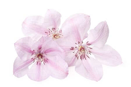 Clematis flower on a white background. Valentines card photo