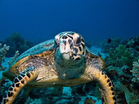 Hawksbill sea turtle on coral reef in Red Sea. Close up. photo