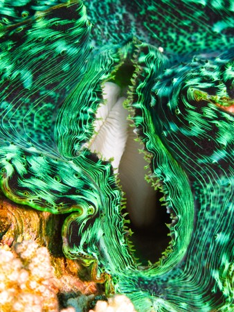 Green giant clam shellfish on coral reef in Red Sea. Close up photo