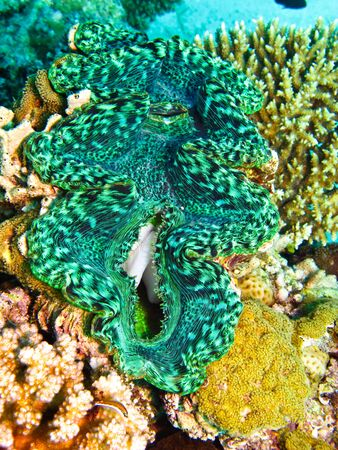 Green giant clam shellfish on coral reef in Red Sea. Close up