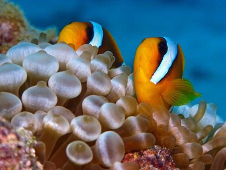 Red sea anemonefish in bubble anemone. Close up. Stock Photo - 4212197