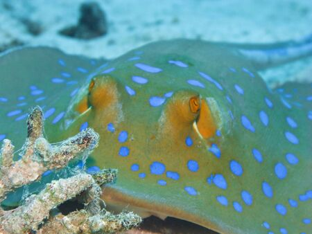 Bluespotted stingray on coral reef in Red Sea. Close up. Stock Photo - 4212200