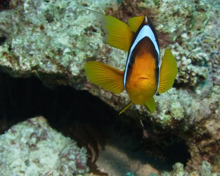 Red sea anemonefish in bubble anemone. Close up. Stock Photo - 4584434