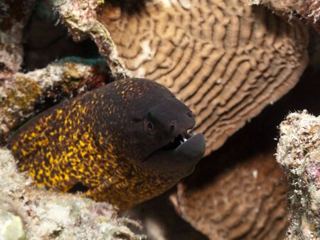 Gold spotted moray on coral reef in Red Sea. Close up. photo