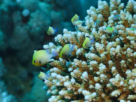 Small fishes on coral reef in Red Sea. Close up. photo