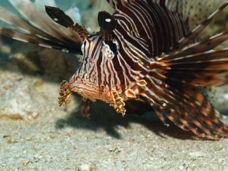 pterois volitans: Lionfish (Pterois volitans) on coral reef in Red Sea. Close up.