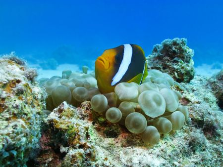 Red sea anemonefish in bubble anemone. Close up. Stock Photo - 4590118