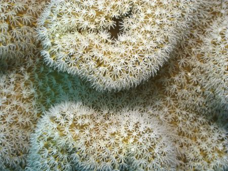 Abstract background from Mushroom Leather Coral (Sarcophyton trocheliophorum). Close up. photo