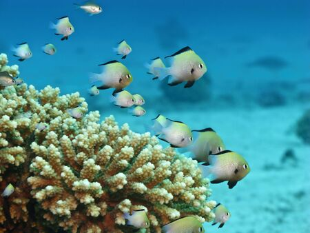 Small fishes on coral reef in Red Sea. Close up.