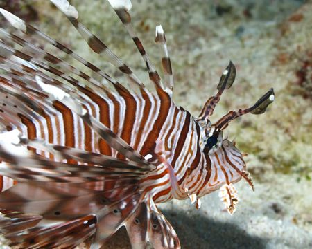Lionfish (Pterois volitans) on coral reef in Red Sea. Close up. photo