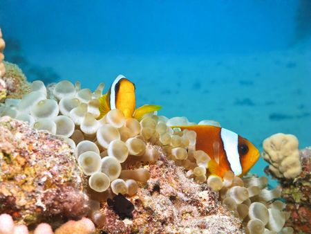 Red sea anemonefish in bubble anemone. Close up. photo