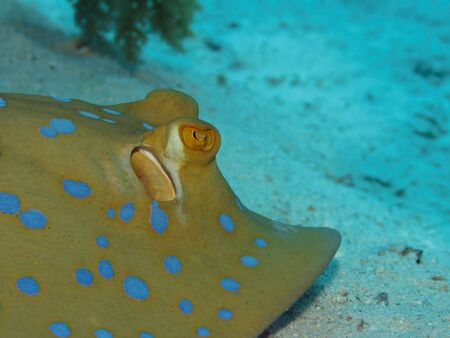 lymma: Bluespotted stingray on coral reef in Red Sea. Close up.
