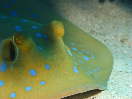 Bluespotted stingray on coral reef in Red Sea. Close up. photo