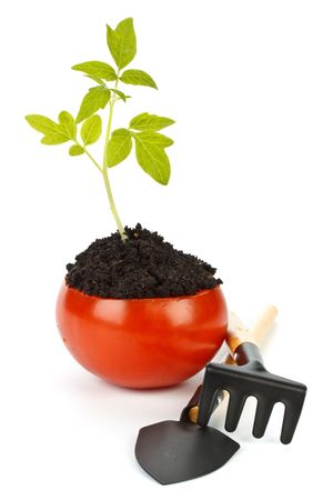 Transplant of a tree in a pot from fresh tomato on a white background. Concept for environment conservation. photo