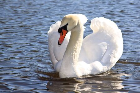 White swan on a pond. Close up. Stock Photo - 4935317