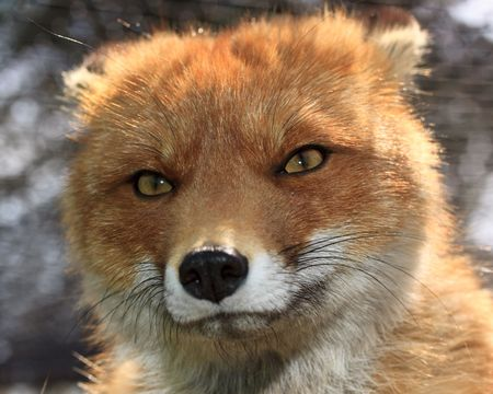 Red fox in a zoo. Close up.