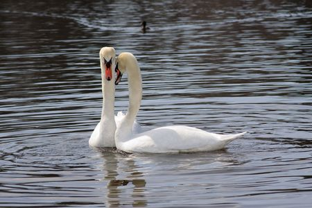 Pair of white swans on a pond. Close up. photo